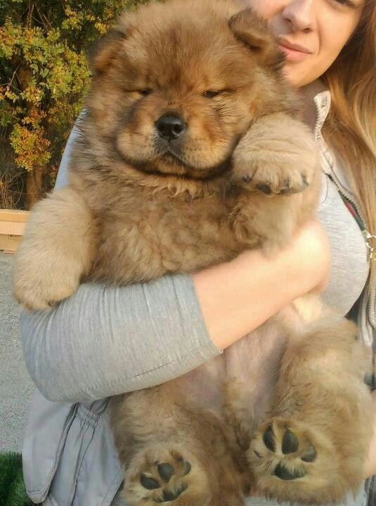 Dogs That Look Like Bears The Cutest And Floofiest Dog Bear