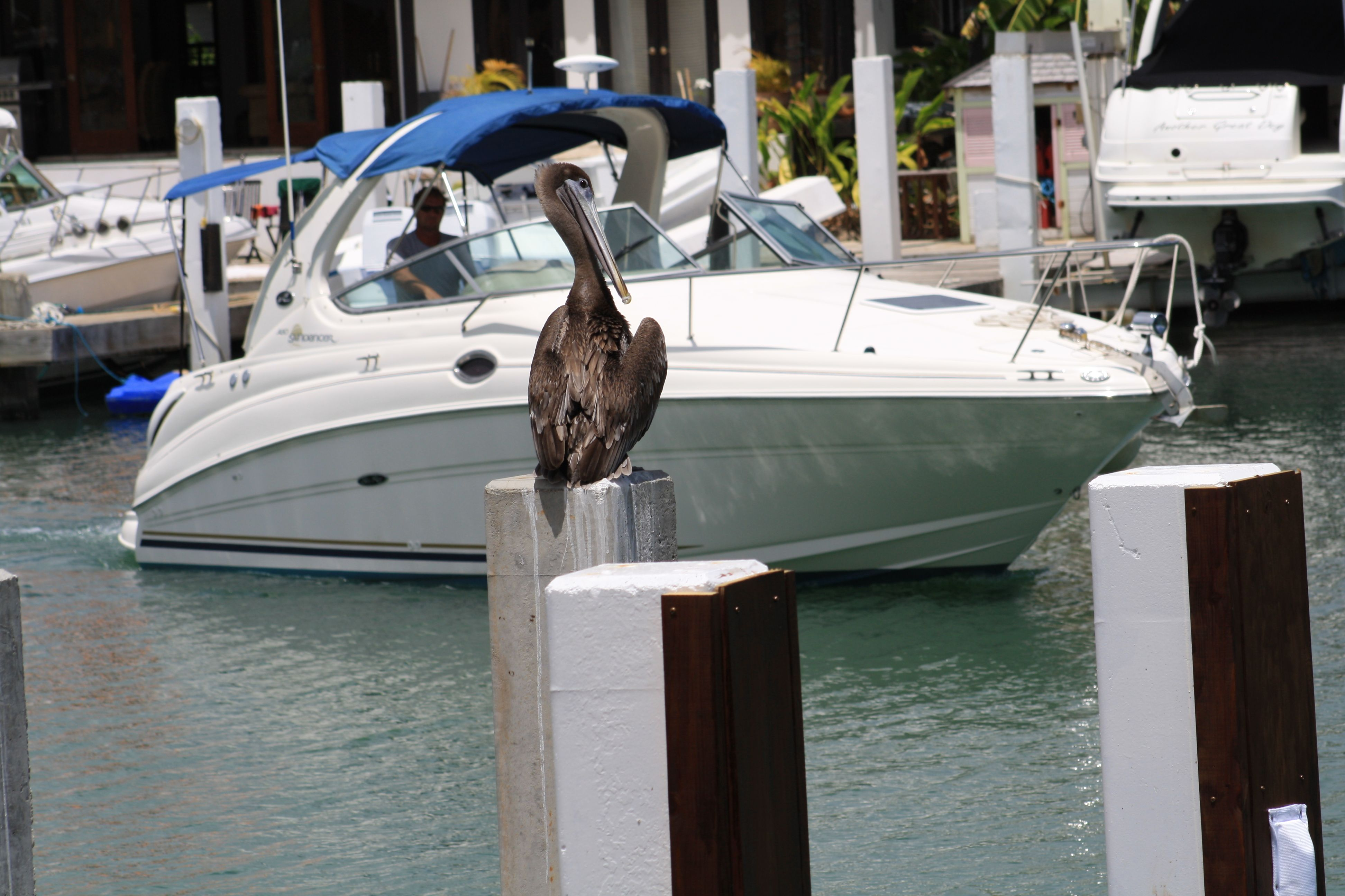 Pelican at Villa Emerald Dreams watching as the boat pulls into the dock of 219F, the dock can accomodate a boat up to 30 ft.