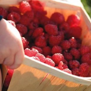 With a little sun, berries will soon be staining the mouths of children and adults everywhere.