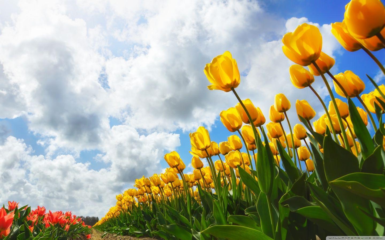 Spring Wallpaper Full Hd Tulip Flowers New Spring Wallpaper Hd Spring Wallpaper Spring Desktop Wallpaper