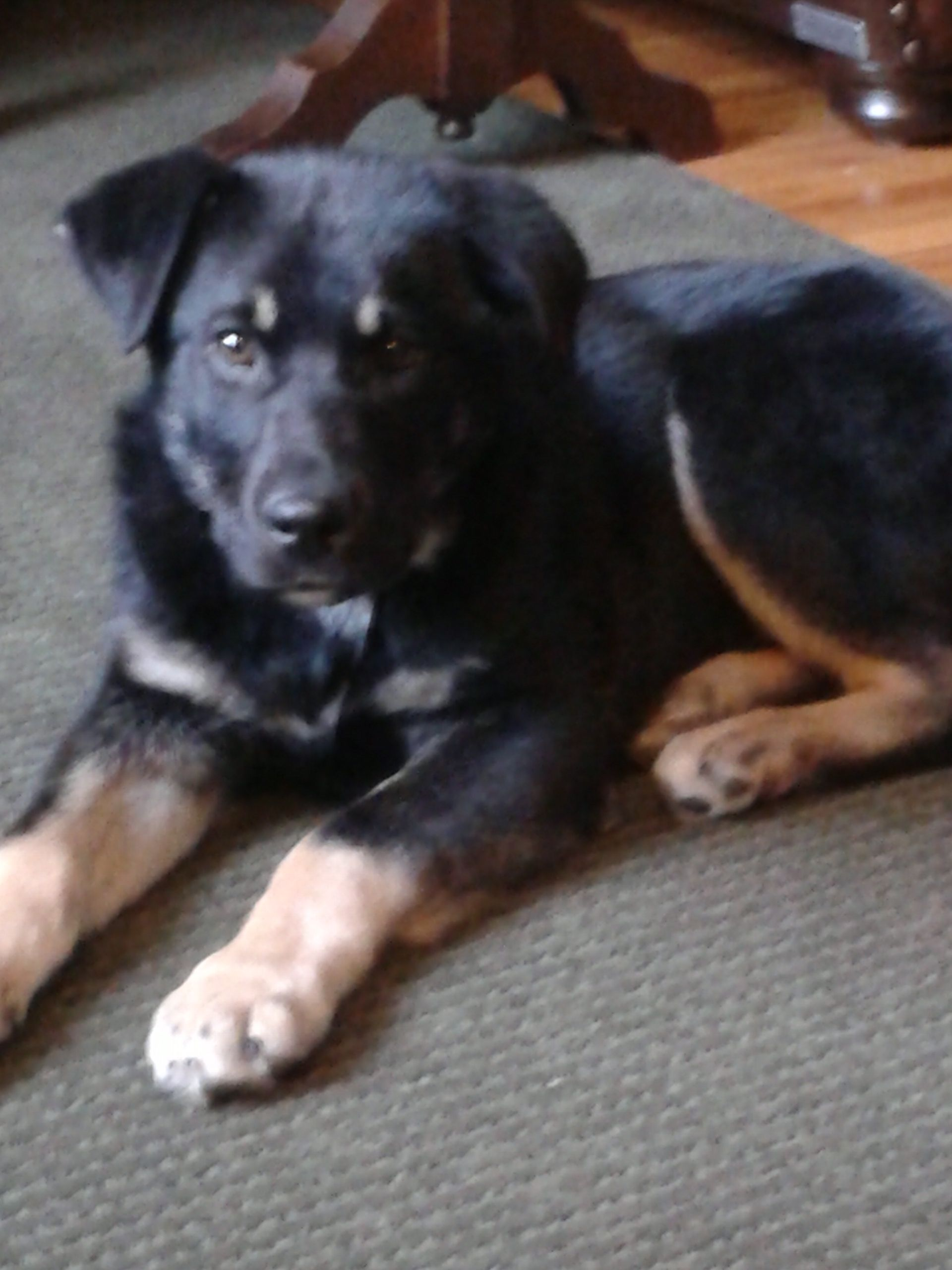 This Is Our Puppy Bella Bella Was Rescued By Pet Save In Sudbury