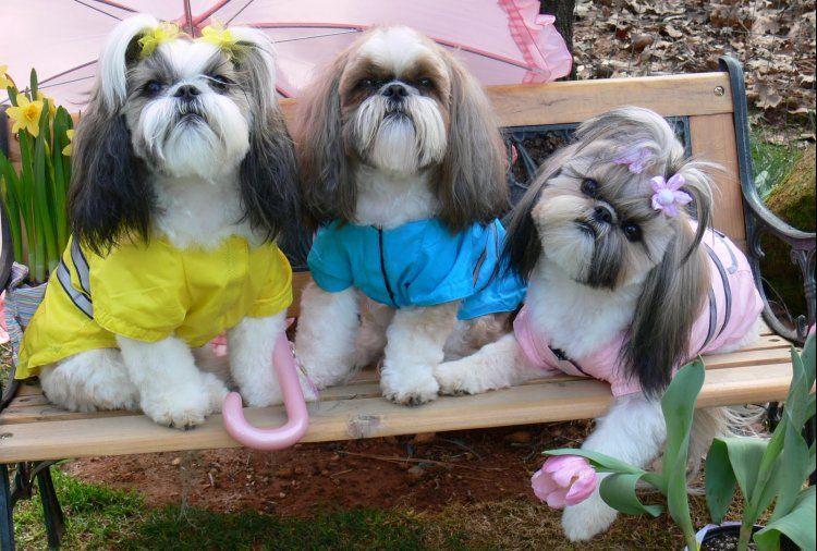 Shih Tzu Affectionate And Playful Shih Tzu Dog Shih Tzu Puppies