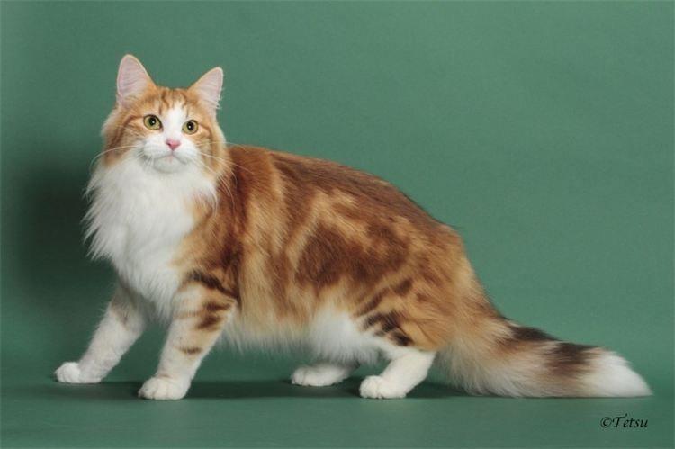 Spree Cattery Dams Hollywood Fl Pretty Cats Norwegian Forest Cat Tortoiseshell Tabby