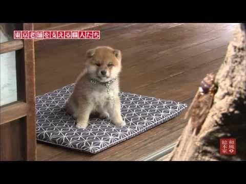 15代目豆助 短編集5 柴犬の子犬 Japanese Dogs Shiba Inu Funny Animal Videos