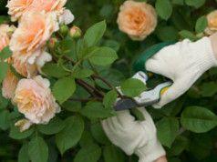 Rosen im Sommer schneiden: Wichtige Hinweise und weitere Pflegearbeiten