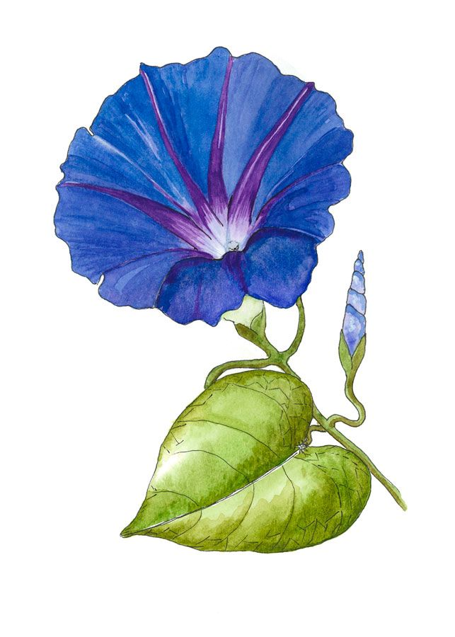 Morning Glory Realistic Flower Drawing Flower Drawing Plant Art