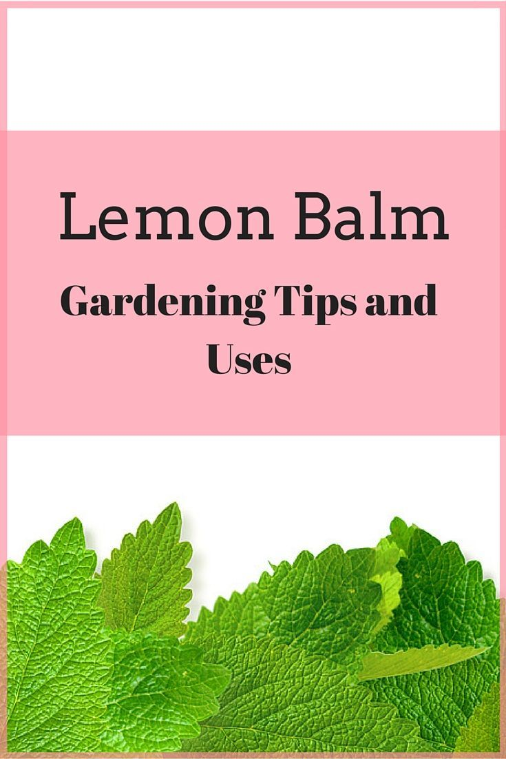 Lemon Balm Is Super Easy To Grow Smells Fabulous And Has A Ton Of