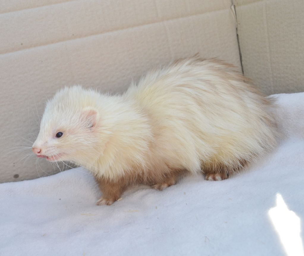 9 Month Old Full Angora Hob Needs New Loving Home Angora Ferret Ferret Pet Ferret