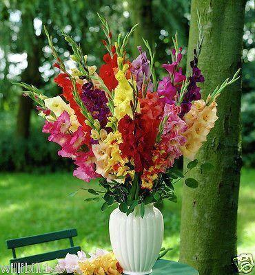 Gladiolus bulbs mix color 25 bulbs perennialsummer flower free gladiolus bulbs mix color 25 bulbs perennialsummer flower free shipping party ideas pinterest gladiolus bulbs gladioli and perennials mightylinksfo Choice Image