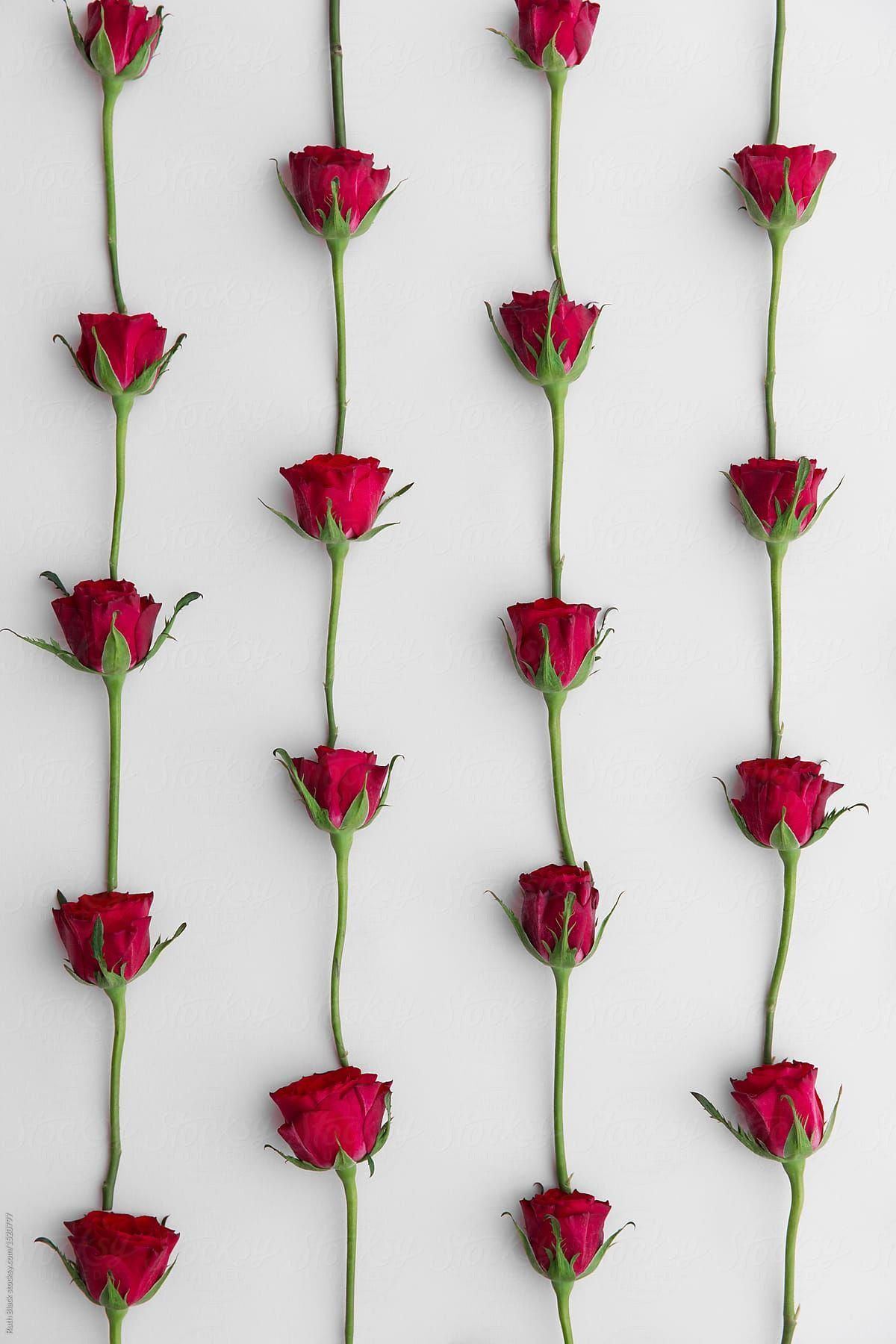Red Rose Background Download This High Resolution Stock Photo By