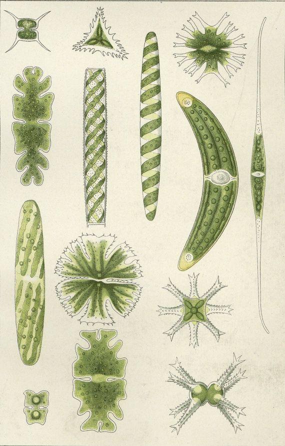 Verfilzt antiken Algen Druck C. 1900 Lithographie