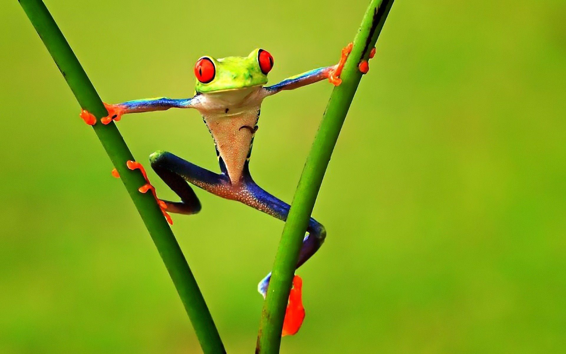 Colorful Tree Frogs - wallpaper. | My favorite animules | Pinterest ...