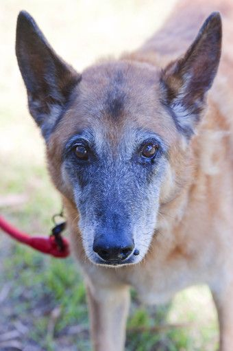Australia Rex Id12735 Is A Senior Adoptable German Shepherd Dog In Victoria We All Need Love No Animal Welfare Society Senior Dogs Photography Animals