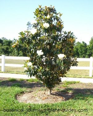 Floridas Little Gem Magnolia With White Cup Flowers Located In Our