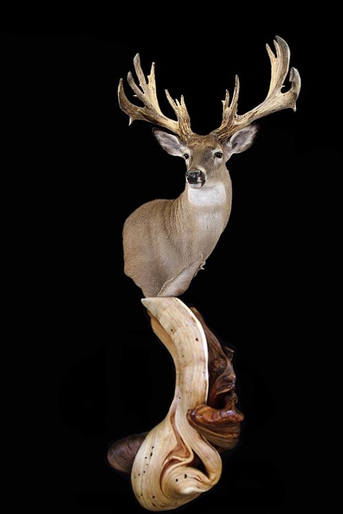 Single Head Taxidermy Display Stand U2014 Rocky Mountain Twist   Juniper Log  Furniture U0026 Taxidermy Pedestals