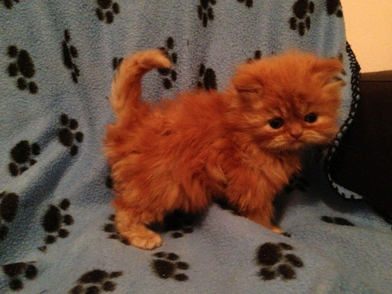 Persian Kittens Grays Essex Pets4homes Persian Kittens Persian Cat Kittens