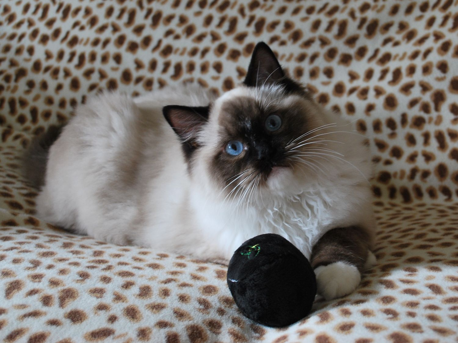 I have the 8 Ball...pool anyone? Ragdoll kitten, Kittens