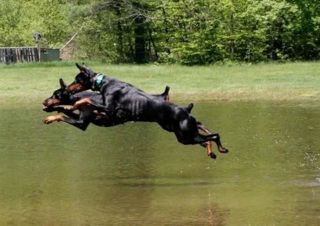 Dock Diving Doberman Forum Doberman Breed Dog Forums