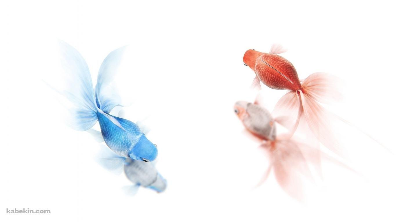 2匹の金魚 1366 X 768 の壁紙 壁紙キングダム Pc デスクトップ版 魚の壁紙 金魚 カラフルな魚