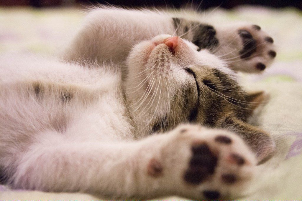 CatsInTheCradleMeaning Why do cats purr, Cat adoption
