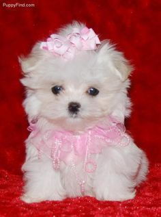 A Lovely Little Bichon Frise In Her Pink Bow And Pink Lace Collar