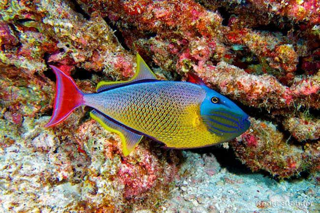 Redtail Trigger Male Marine Fish Tanks Saltwater Aquarium Fish Saltwater Fish Tanks
