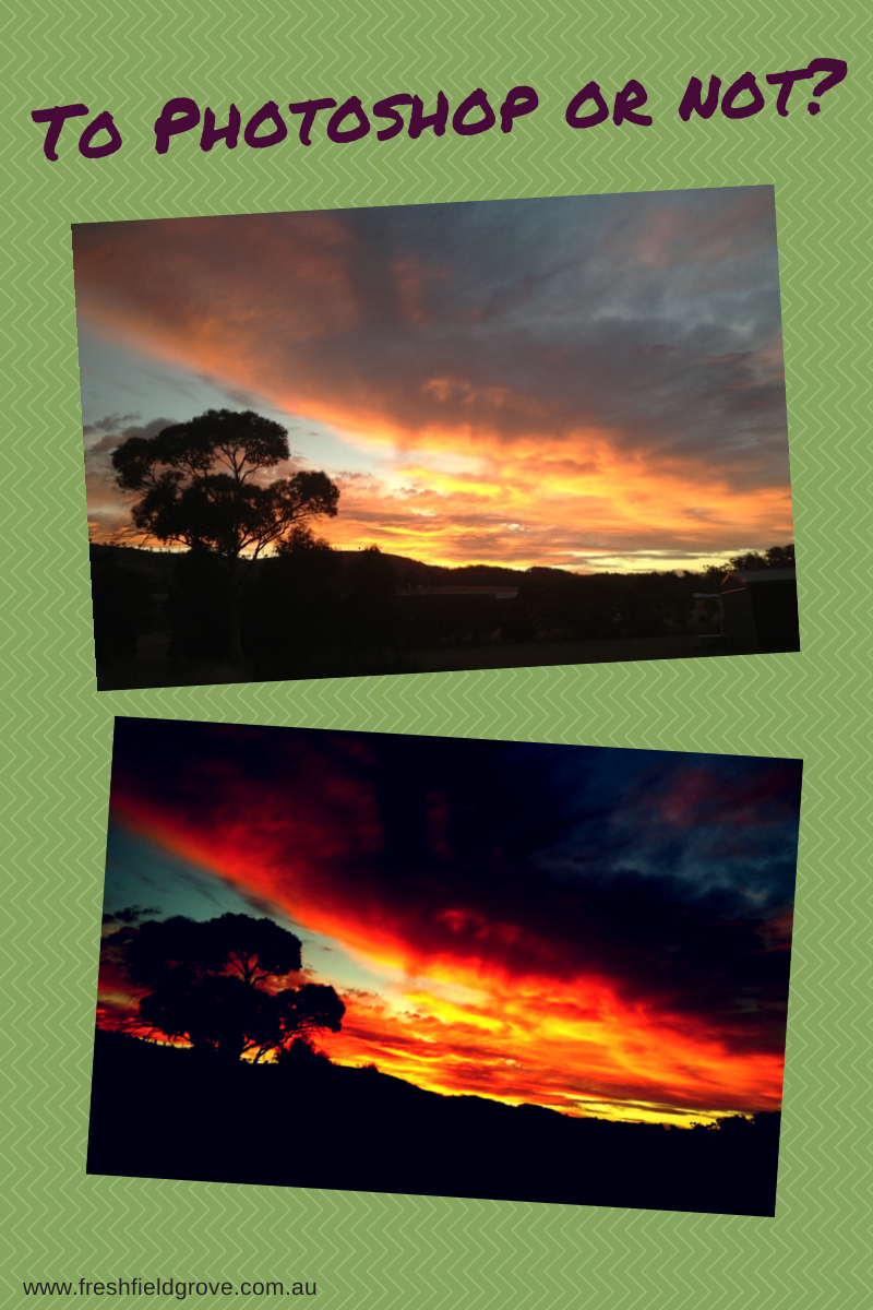 Photo editing sunsets with Canva, olive grove maintenance, authenticity in extra virgin olive oil. And a photo with the dogs :-)