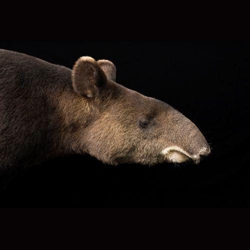 Gallerie Signature Tapir Animals Ecosystems