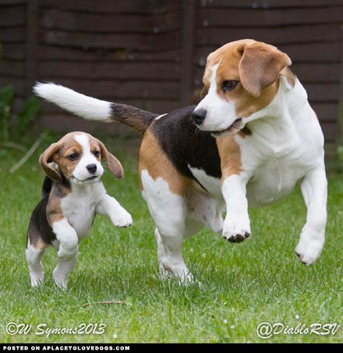 Golden retriever puppy grows up from an adorable little puppy that now son this is how a beagle chases a rabbit hop and run voltagebd Gallery
