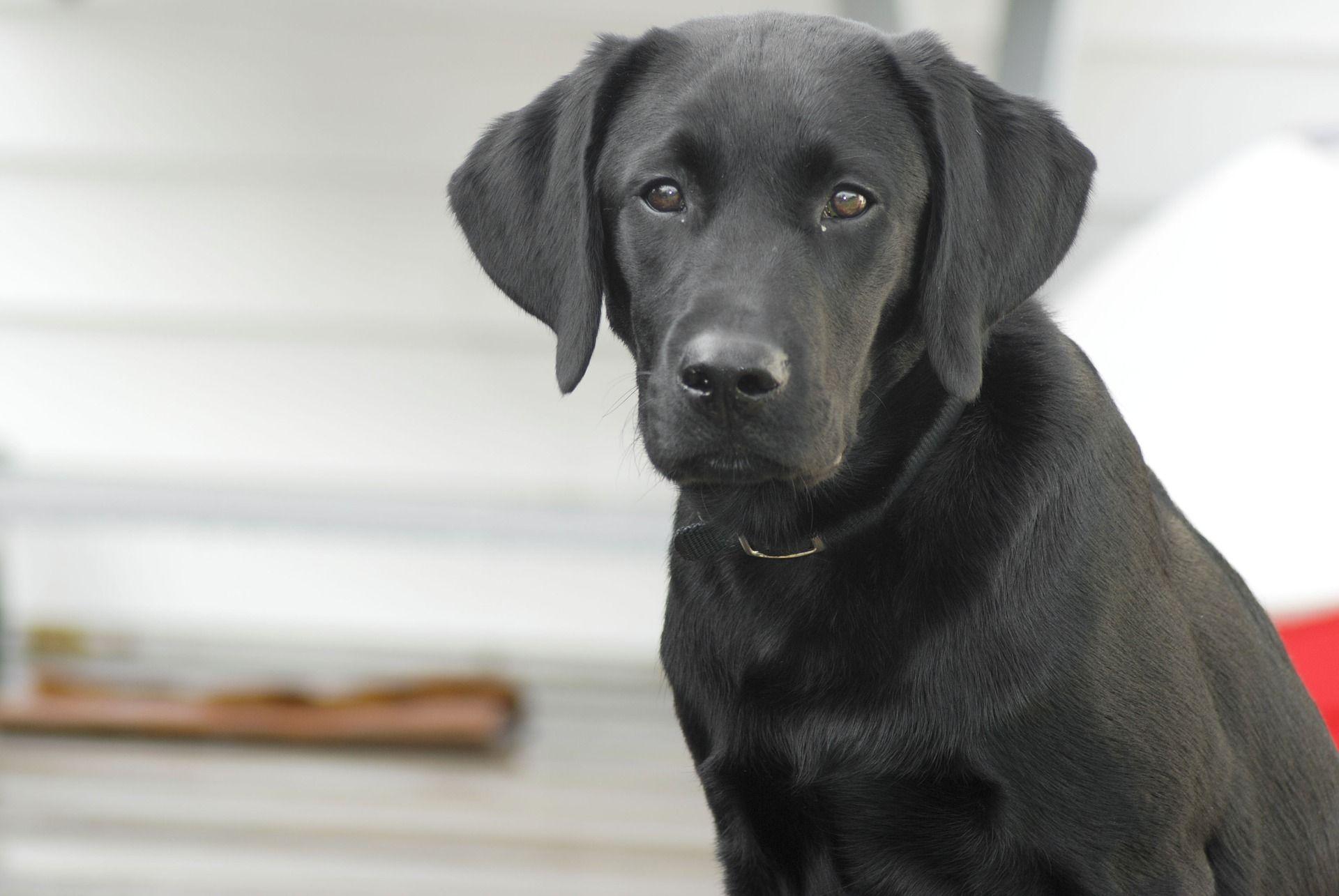 Labrador Retriever Kaufen Und Verkaufen Hundevermittlung Edogs De Labrador Retriever Labrador Chiot