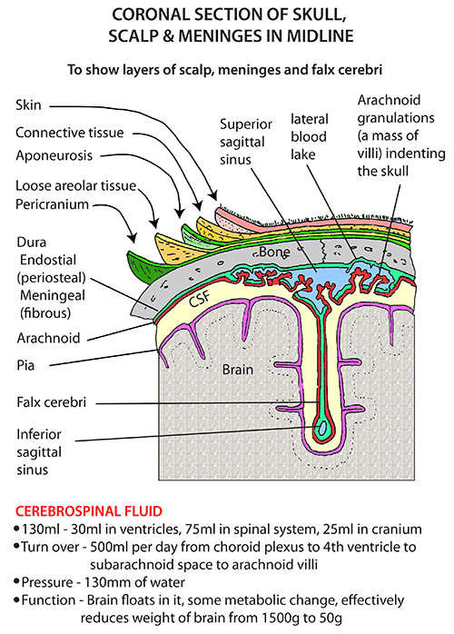 1362322ecc2aeb7402cb672ffe03eabd coronal section of skull, scalp, and meninges in midline diagram