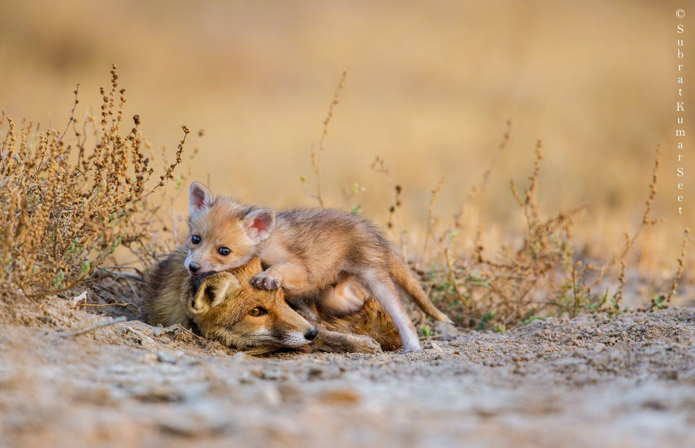 © 2015 skseet Rann of kutch, Desert fox, Fox
