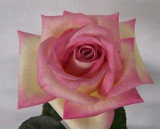 Hybrid tea rose 'Cajun Sunrise'