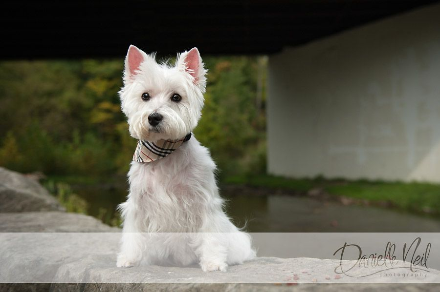 Westie Dog Portraits Westie Terrier Fall Portraits