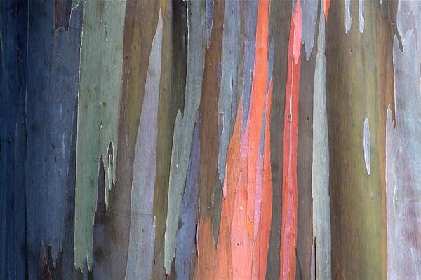 Eucalyptus Tree Bark By Karon Melillo Devega Tree Bark Eucalyptus Tree Tree Art