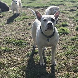 Hagerstown, MD Boxer. Meet Ziva a Dog for Adoption