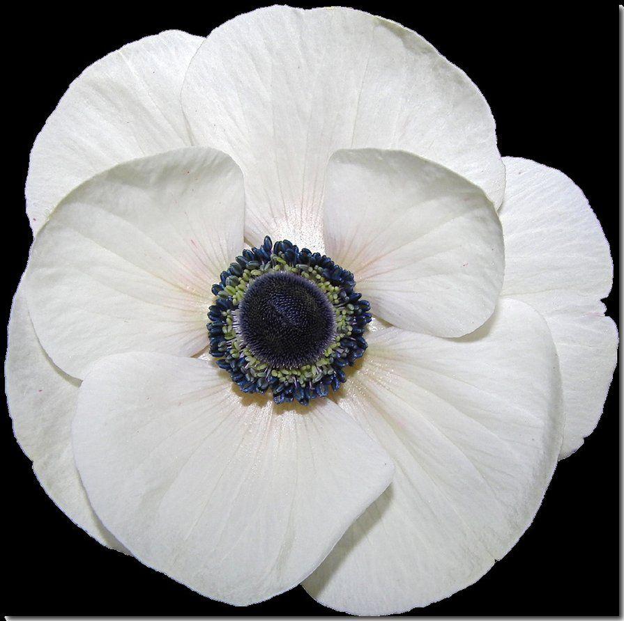 White Poppy 2 By Ccmerino Holiday Stuff Pinterest