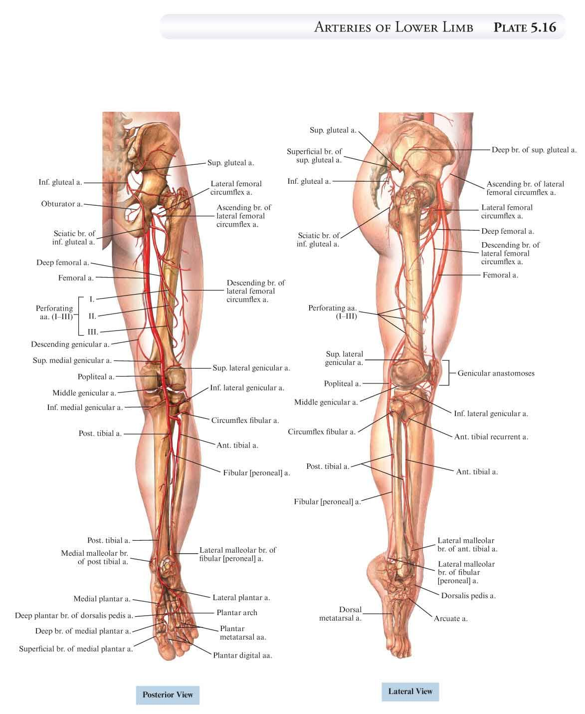 Pin By Sean Coleman On Anatomy Pinterest Anatomy Leg Anatomy