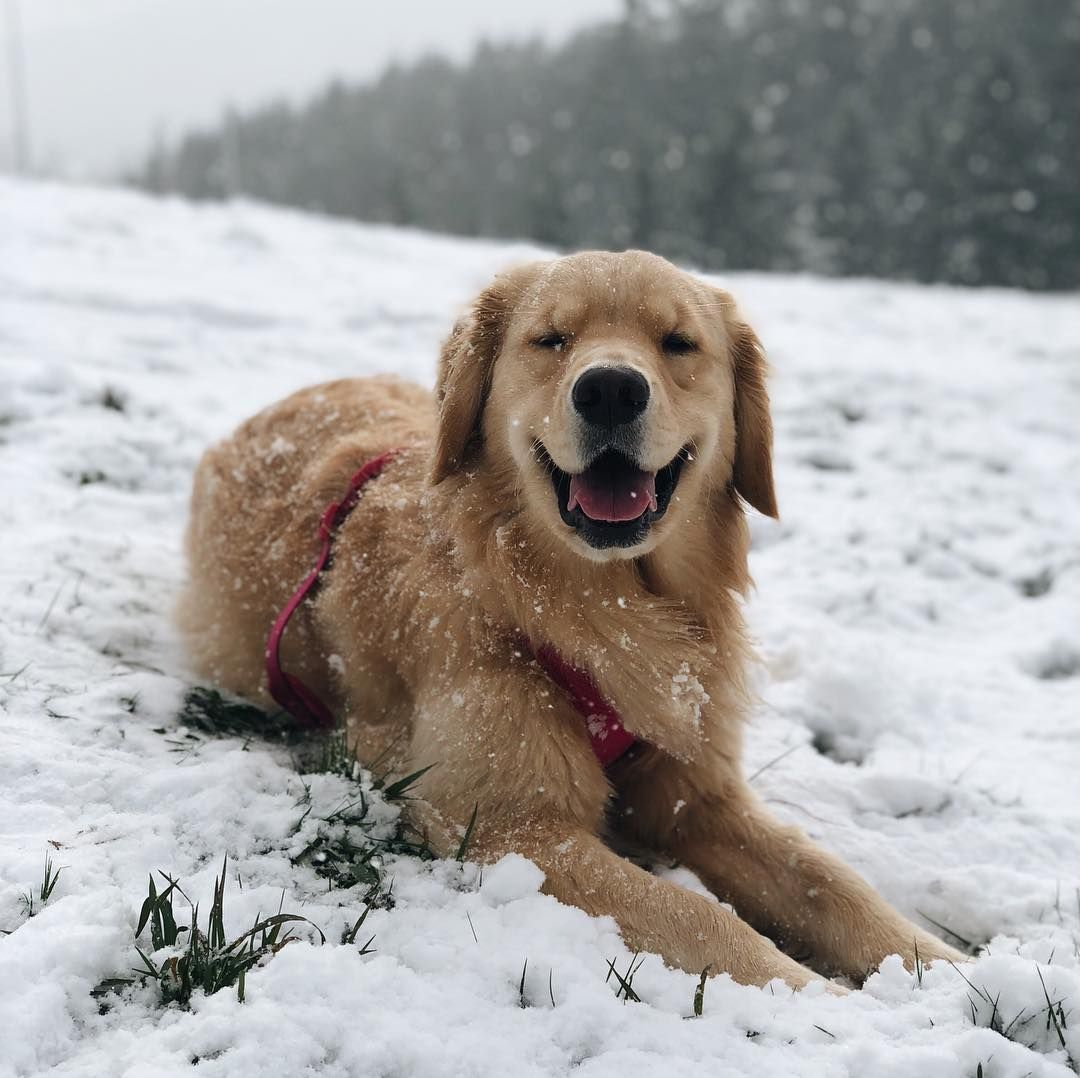 Zella Golden Retriever Puppy On Instagram More Snow Is In The