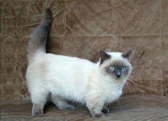 Rare Cat Breeds And Breed Information Munchkin Munchkin Cat
