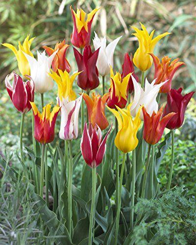 Lily Flowering Tulip Mixture 45 Perennial Tulip Bulbs Wi Https Www Amazon Com Dp B00mx4bkxc Ref Cm Sw R Pi Dp X Bulb Flowers Tulip Bulbs Tulips