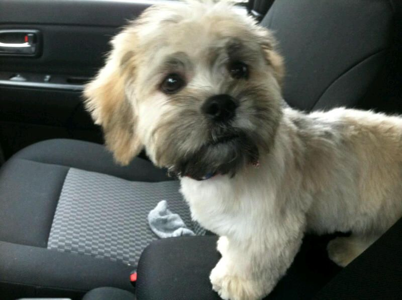 My Shichon Chewie After A Trip To The Groomer Dog Haircuts Teddy Bear Dog Little Dogs