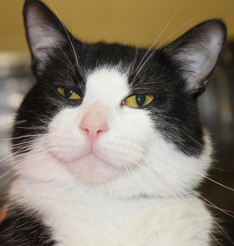 Adopt ROGER on (With images) Cat adoption, White cats