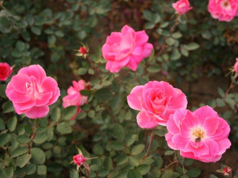 China Plants Com Pink Rosa Polyanthas Chinese Plants Rose Rose Bush