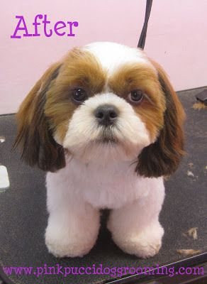 Hamlet The Shih Tzu Before After Dog Grooming Example 2 Shih Tzu