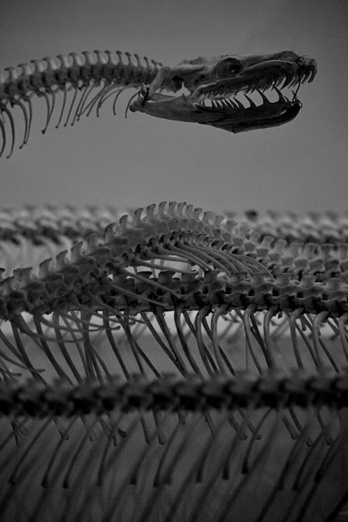 Snake Skeleton | Anatomy. Reptile | Pinterest | Taxidermia ...