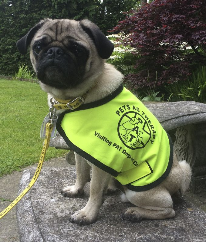 Doug The Pug Therapy Dog Makes A Difference To Many Lives Doug