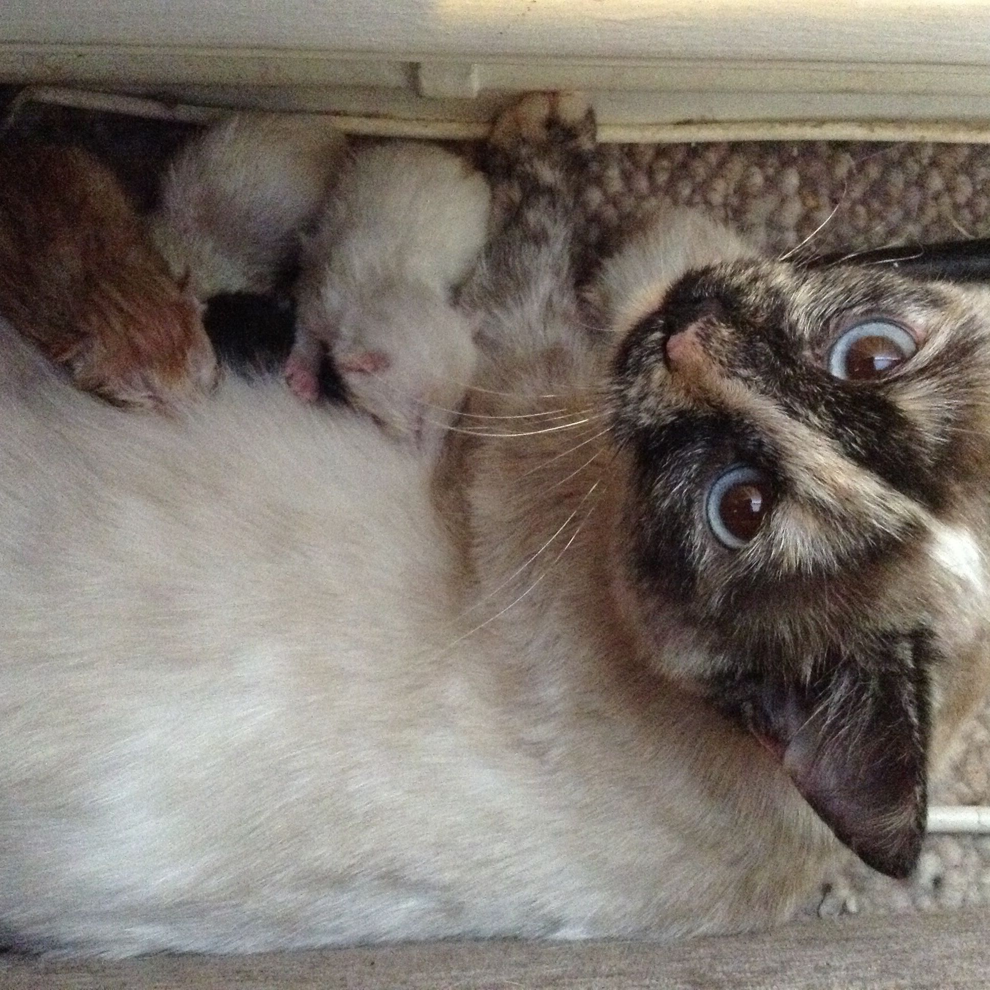 Our beautiful Storm & her new born kittens.