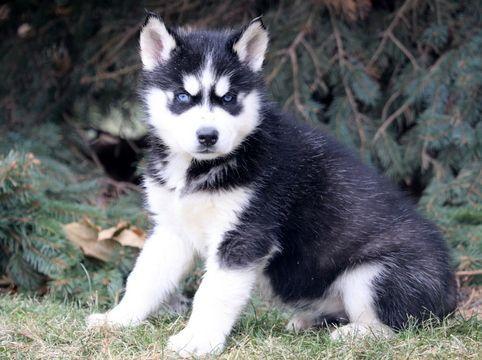 Siberian Husky Puppy For Sale In Mount Joy Pa Adn 61002 On