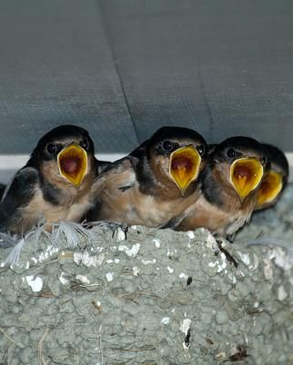 Barn Swallow - Whatbird.com